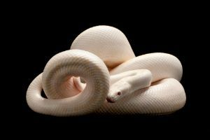 Albino Columbian Rainbow Boa