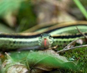 Eastern Garter Snake (Thamnophis Cyrtopsis ocellatus)