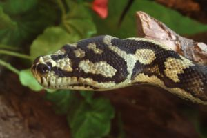 Jungle Carpet Python Head (Morelia spilota cheynei)