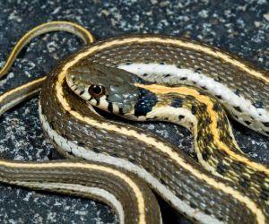 Western Black-Necked Garter Snake (Thamnophis Cyrtopsis)