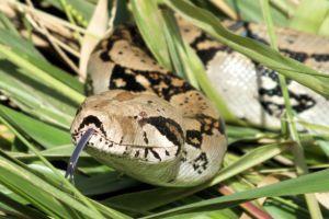 Boa Constrictor in grass