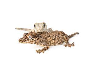Gargoyle-Geckos