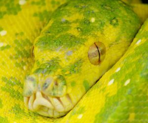 Green tree python close up