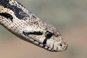 Head of Gopher Snake