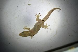 mourning-gecko-on-wall