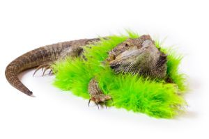Bearded-Dragon-wearing-a-boa-1