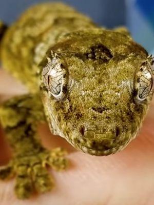 Chahoua Gecko