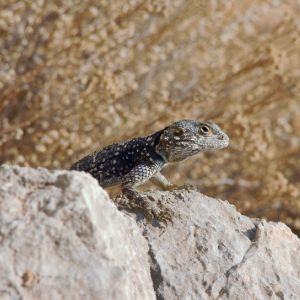 Greek Lizard