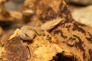 Spiny tailed lizard (Uromastyx princeps)