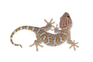 Tokay Gecko Full Body