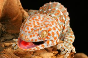 Tokay Gecko with tongue out