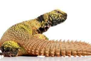 Uromastyx acanthinura (4 years old)
