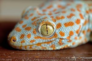 tokay-gecko eye close up