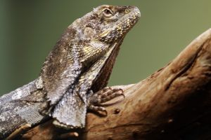Frilled Agama (Frilled Dragon)