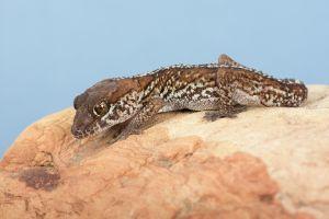Ocelot Gecko