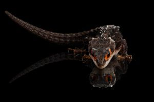 Red-eye crocodile skink