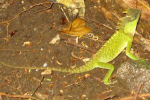 Acanthosaura_capra_(Mountain Horned Dragon)