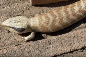 Centralian Blue Tongued Skink