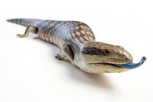 Blue Tongued skink