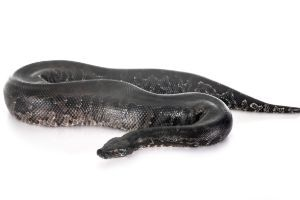 Python curtus (Sumatran Short Tail Python)