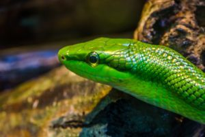 face of a red tailed green ratsnake