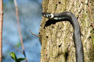 grass snake climbing tree