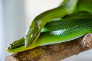 two red tailed green snake rat snakes on branch