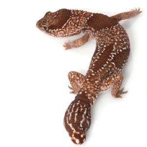 African fat-tailed gecko (Hemitheconyx caudicinctus)