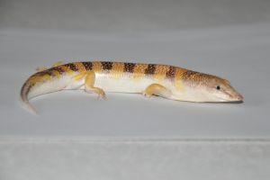 Male Sandfish Skink