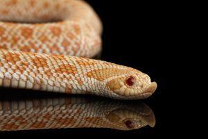 Pink Albino Western Hognose Snake