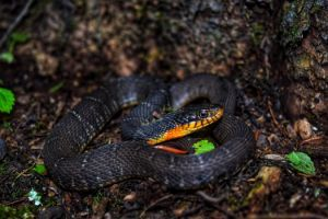 Yellow bellied water snake