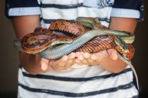 boy holding brown and gray corn snakes