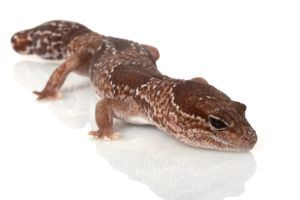 jungle-african-fat-tailed-gecko