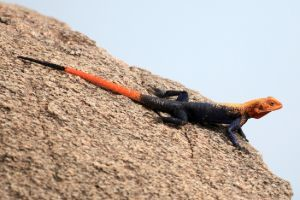 red-headed agama lizard uganda africa (agama agama)