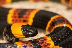 Eastern Coral Snake (Micrurus fulvius)