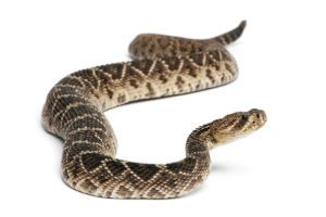 Eastern Diamondback Rattlesnake (Crotalus adamanteus) (1)