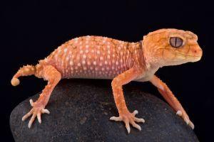 Orange Rough Knob Tailed Gecko (Nephrurus asper)