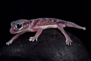 Pernatty Knob Tailed Gecko (Nephrurus deleani)