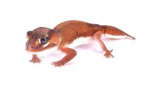 Smooth Knob tailed gecko (Nephrurus levis pilbarensis)