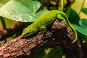 Madagascar Giant Day Gecko (Phelsuma grandis) sitting on a branch