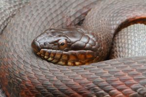 Northern Water Snake In Coil