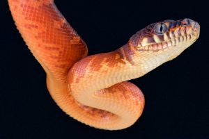 Orange and yellow Black python on black background coming down from above