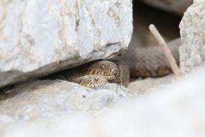 Two water snakes hiding in rocks