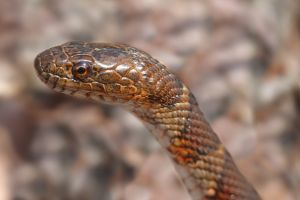 close up of northern water snake head