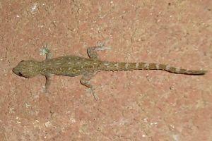 Indo-Pacific gecko (Hemidactylus garnotii)