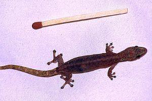 Indo-Pacific tree gecko (Hemiphyllodactylus typus)
