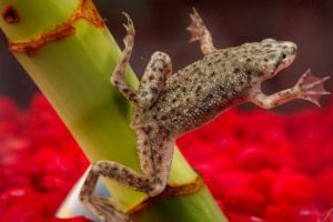 African dwarf frog (Hymenochirus)