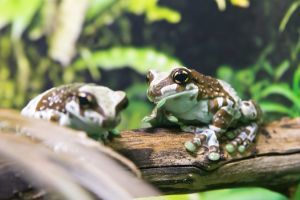 Amazon Milk Frog (phrynohyas resinifictrix)