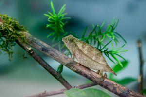 Bearded Pygmy Chameleon (Rieppeleon brevicaudatus)