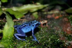 Blue Poison Dart Frog (Dendrobates sp.)